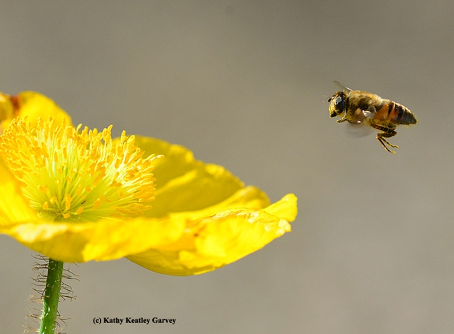 A drone fly, Eristalis tenax, heading toward a Cosmos. (Photo by Kathy Keatley Garvey)