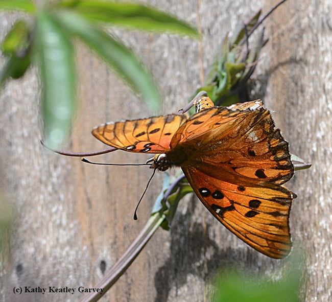 A Gulf Fritillary lays an egg on a passionflower vine in Vacaville on March 26. (Photo by Kathy Keatley Garvey)