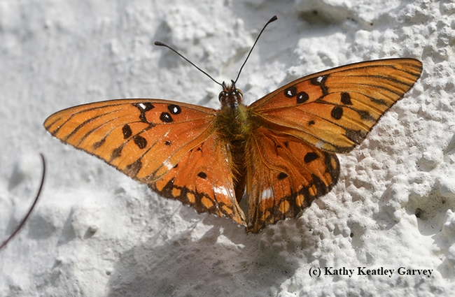 The female Gulf Fritillary touches down on a stucco wall. Gulf Frits lay eggs on the leaves and tendrils of their host plant, Passiflora, but also on nearby fences and walls. (Photo by Kathy Keatley Garvey)