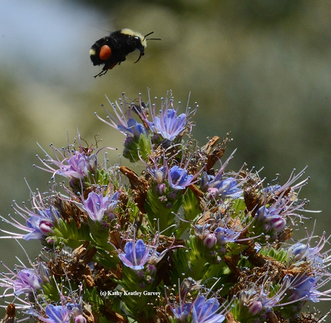 Yellow-faced bumble bee, Bombus vosnesenskii, packing red pollen as it heads for an Echium (Pride of Madeira) in Vallejo. (Photo by Kathy Keatley Garvey)