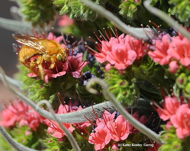 A male Valley carpenter bee, Xylocopa varipuncta, on a tower of jewels (Echium wildpretii). (Photo by Kathy Keatley Garvey)