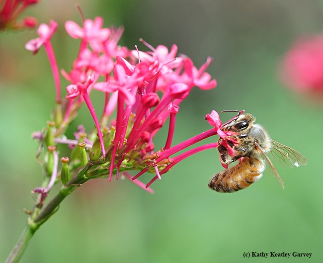 A honey bee sipping nectar from Jupiter's Beard. (Photo by Kathy Keatley Garvey)