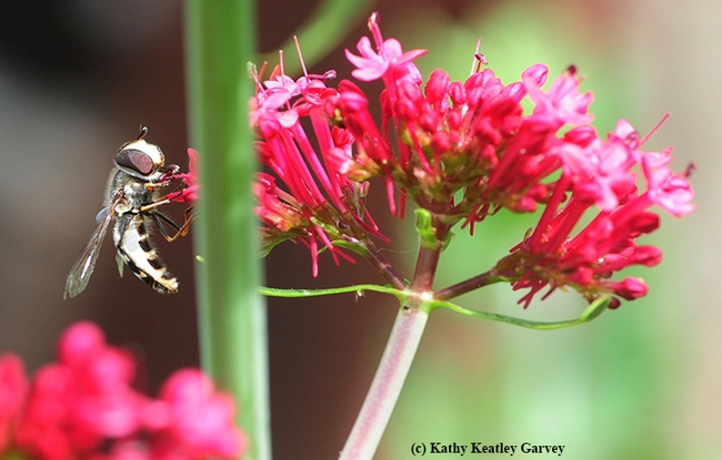A syrphid, aka hover fly or flower fly, sipping nectar from Jupiter's Beard. (Photo by Kathy Keatley Garvey)