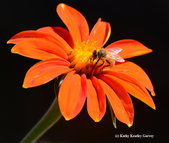 Honey bee on Tithonia (Photo by Kathy Keatley Garvey)