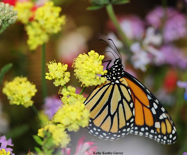Monarch butterfly nectaring on plants inside the 2015 Pollination Pavilion enclosure. (Photo by Kathy Keatley Garvey)