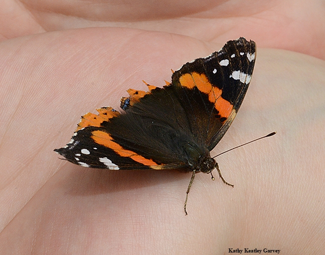 A Red Admiral butterfly, Vanessa atalanta, at the Pollinator Pavilion at Briggs Hall. Graduate student Margaret