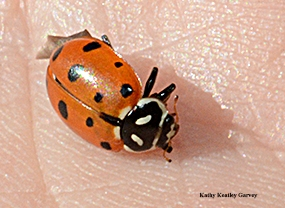 A lady beetle, aka ladybug, given away by UC IPM. (Photo by Kathy Keatley Garvey)