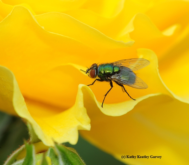 A green bottle fly cannot resist the scent of the yellow rose,