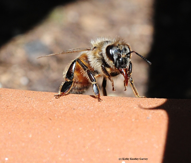 Honey bee removing the particles from her tongue so she can keep foraging. (Photo by Kathy Keatley Garvey)