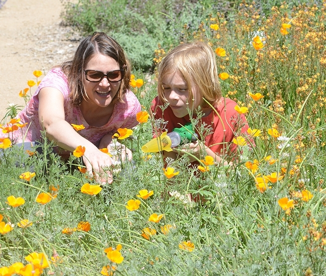 Professor Valerie Fournier shows her son, Phoenix Eaves, 9, the California golden poppies and insects in the Häagen-Dazs Honey Bee Haven. The professor is taking a sabbatical and is based in the lab of UC Davis pollination ecologist Neal Williams. (Photo by Kathy Keatley Garvey)