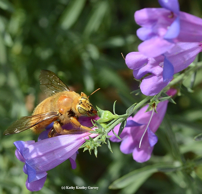 A male Valley carpenter bee (Xylocopa varipuncta)sips nectar from a foothill penstemon, (Penstemon heterophyllus) in the Haagen-Dazs Honey Bee Haven.  (Photo by Kathy Keatley Garvey)