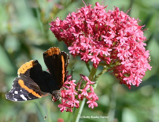 Red Admiral butterfly hesitantly spreads its wings. (Photo by Kathy Keatley Garvey)