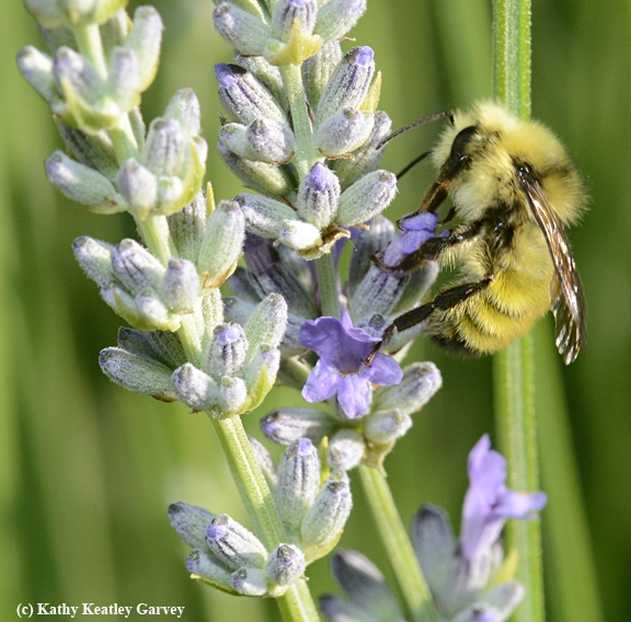 A male Bombus vandykei,also known as the Van Dyke Bumble Bee, forages on lavender in Vacaville, Calif. on May 17. (Photo by Kathy Keatley Garvey)
