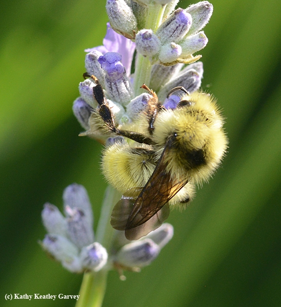 A natural blond! A male bumble bee known as the Van Dyke Bumble Bee, Bombus vandykei, sips nectar from lavender. (Photo by Kathy Keatley Garvey)