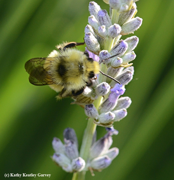 A dorsal view of the male bumble bee, Bombus vandykei, foraging on lavender. (Photo by Kathy Keatley Garvey)