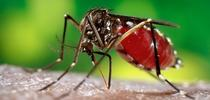Aedes aegypti, the mosquito that transmits dengue, yellow fever, chikungunya and Zika viruses. (CDC Photo) for Bug Squad Blog