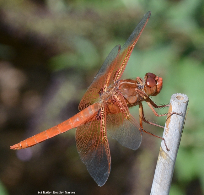 Red flameskimmer dragonfly perching on a bamboo stake. (Photo by Kathy Keatley Garvey)
