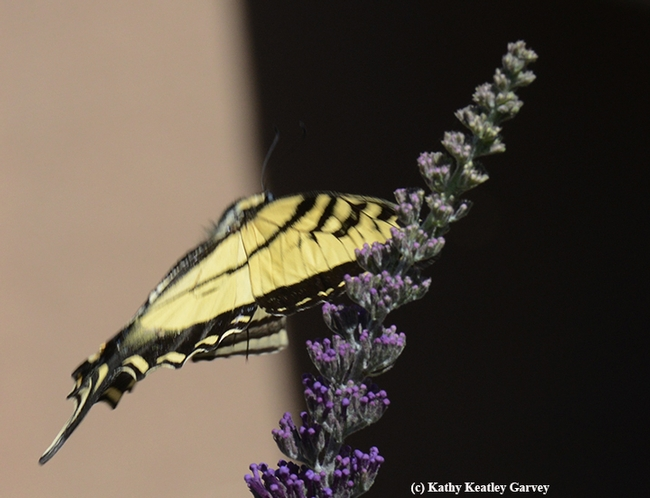 Ready for take-off: the Western tiger swallowtail prepares to leave a butterfly bush. (Photo by Kathy Keatley Garvey)