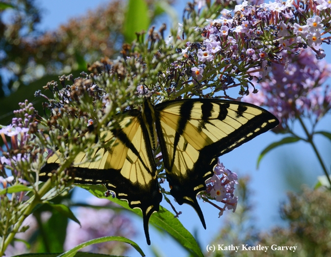 The Western tiger swallowtail (Papilio rutulus)sips nectar from a butterfly bush in the Storer Garden, UC Davis Arboretum. (Photo by Kathy Keatley Garvey)
