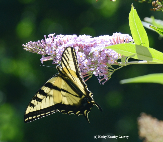 Showing her true colors: the  Western tiger swallowtail (Papilio rutulus). (Photo by Kathy Keatley Garvey)