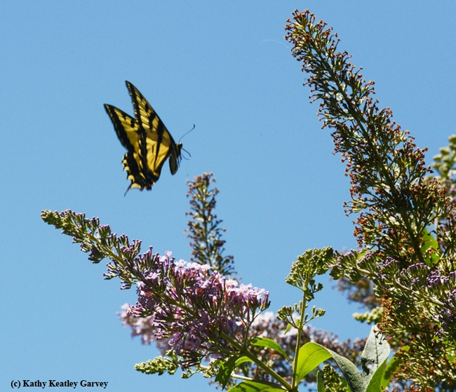 Western tiger swallowtail in flight over a butterfly bush in the Storer Garden. (Photo by Kathy Keatley Garvey)