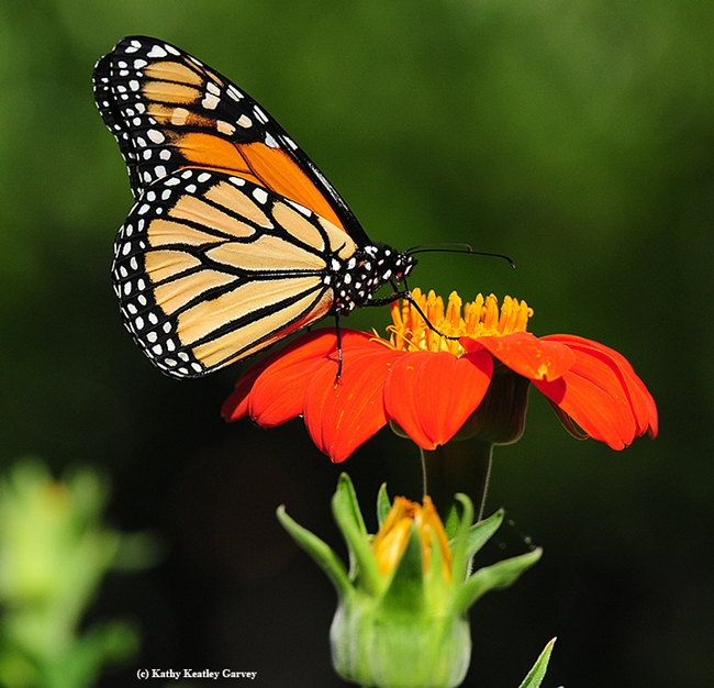 A monarch sipping nectar from a Mexican sunflower, Tithonia. (Photo by Kathy Keatley Garvey)