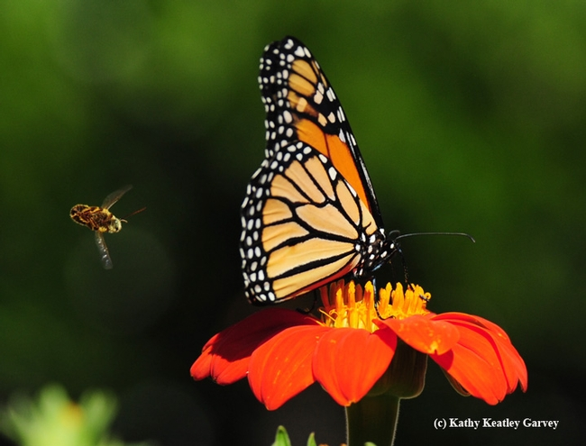The longhorned bee, Melissodes agilis, does a barrel roll and attempts again to push the monarch off the Mexican sunflower.  (Photo by Kathy Keatley Garvey)