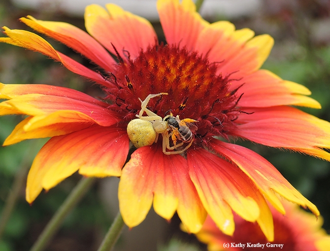 A crab spider dines on a sweat bee, a female Halictus tripartitus (as identified by native pollinator specialist Robbin Thorp, distinguished emeritus professor of entomology at UC Davis). (Photo by Kathy Keatley Garvey)