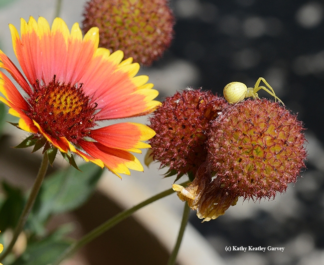 A crab spider on top of the world, the cone of a petal-less blanket flower (Gaillardia). (Photo by Kathy Keatley Garvey)