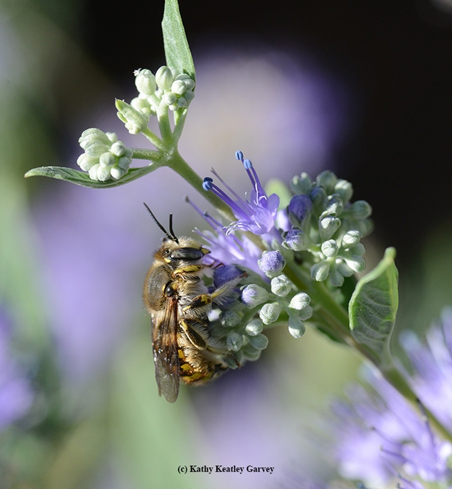 A male European wool carder bee, Anthidium manicatum, warms its flight muscles on a bluebeard blossom (Caryopteris clandonensis). (Photo by Kathy Keatley Garvey)
