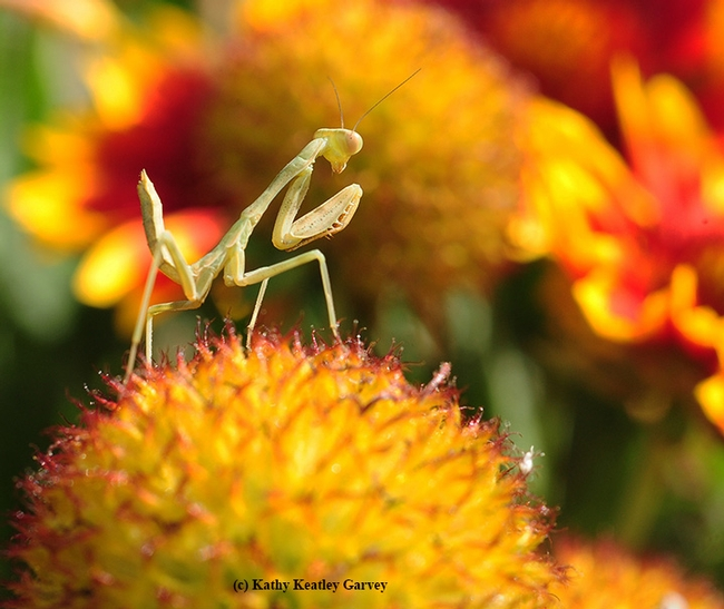 Praying mantis rotates his head, looking for prey. (Photo by Kathy Keatley Garvey)