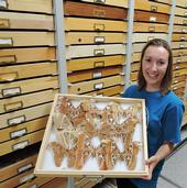 UC Davis entomology graduate student Jessica Gillung shows Atlas moths from the Bohart Museum collection. (Photo by Kathy Keatley Garvey)