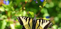 The Western tiger swallowtail (Papilio rutulus) approaches a plumbago in the Storer Garden, UC Davis Arboretum. (Photo by Kathy Keatley Garvey) for Bug Squad Blog