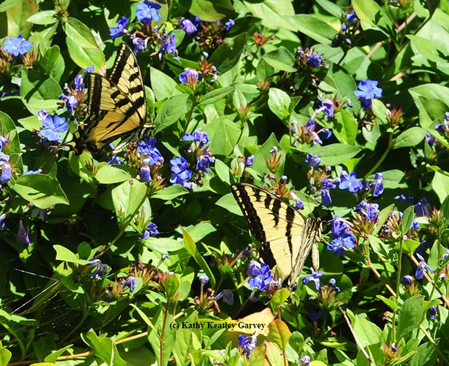 What's better than one Western tiger swallowtail? Two of them. (Photo by Kathy Keatley Garvey)