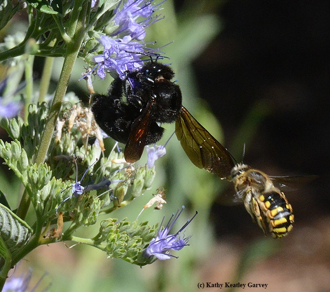 Male European wool carder bee (Anthidium manicatum)targets a female Valley carpenter bee (Xylocopa varipuncta) on a bluebeard (Caryopteris). (Photo by Kathy Keatley Garvey)