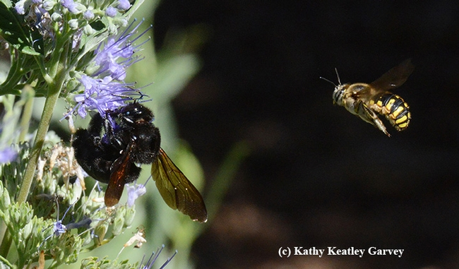 Male European wool carder bee (Anthidium manicatum) takes another swipe at the female Valley carpenter bee (Xylocopa varipuncta) on a bluebeard (Caryopteris). (Photo by Kathy Keatley Garvey)