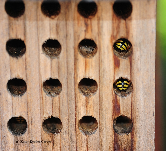Sleepytime! Male European wool carder bees sleeping inside a mason bee condo, bee housing meant for blue orchard bees. (Photo by Kathy Keatley Garvey)