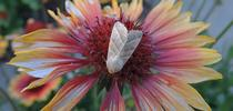 This moth is the Tobacco Budworm (as identified by Lepitopteran Art Shapiro, UC Davis distinguished professor of evolution and ecology) It's  shown here on a blanket flower, Gaillardia. Photo by Kathy Keatley Garvey) for Bug Squad Blog