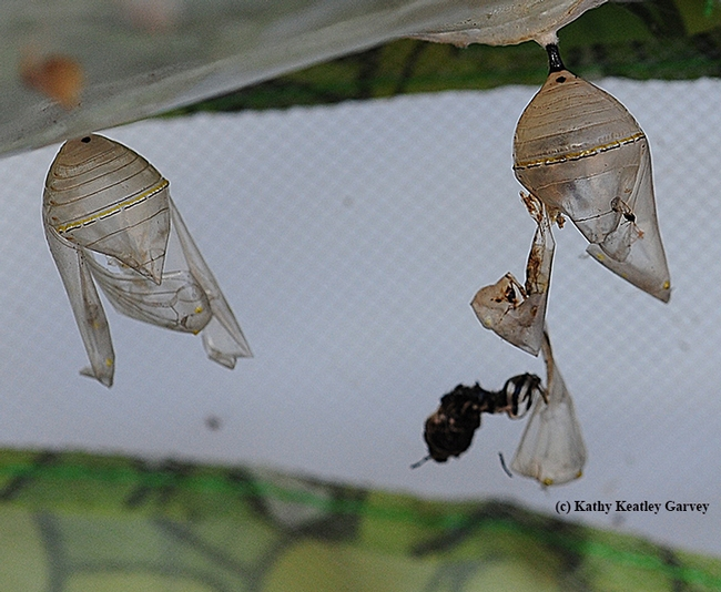 From a chrysalis to a pupal case--now where's the monarch? (Photo by Kathy Keatley Garvey)