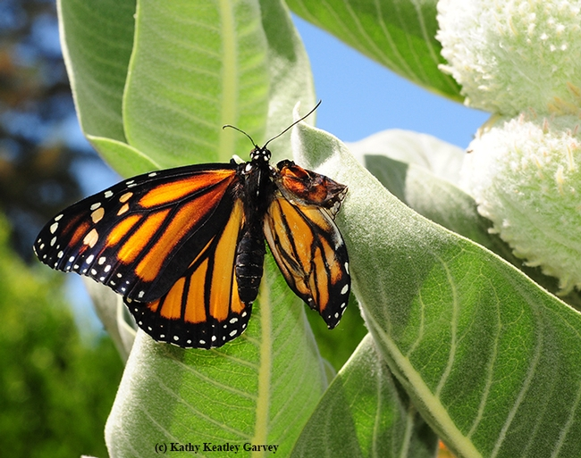 Newly eclosed, but deformed, monarch clings to a milkweed, Asclepias speciosa. (Photo by Kathy Keatley Garvey)