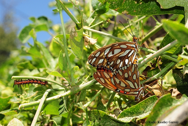 Gulf Fritillary butterflies (Agraulis vanillae) mating. In the background  (at left) is a Gulf Frit caterpillar. (Photo by Kathy Keatley Garvey)