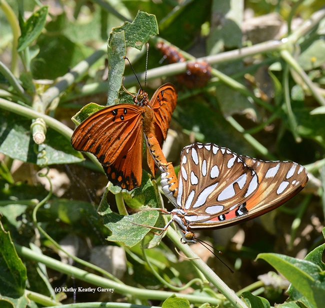 When they're mating, Gulf Fritillaries look like two different spcies. It's an orangish-reddish butterfly with silver-spangled underwings. It is as spectacular as it is showy. (Photo by Kathy Keatley Garvey)