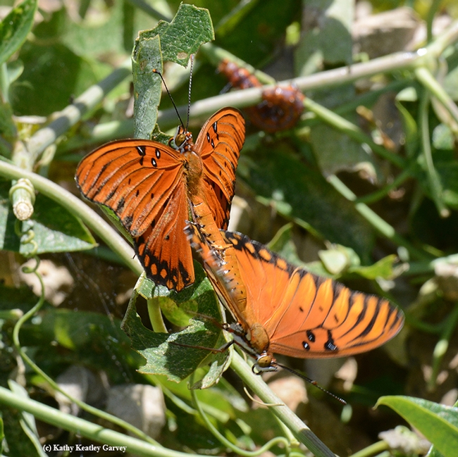 Mating Gulf Fritillary butterflies spreading their wings. (Photo by Kathy Keatley Garvey)