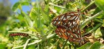 This photo of Gulf Fritillary adults and a caterpillar helps illustrate the article on the Medical College of Wisconsin website. Bruce Hammock's basic research on how caterpillars become butterflies led to discoveries on chronic pain. (Photo by Kathy Keatley Garvey) for Bug Squad Blog