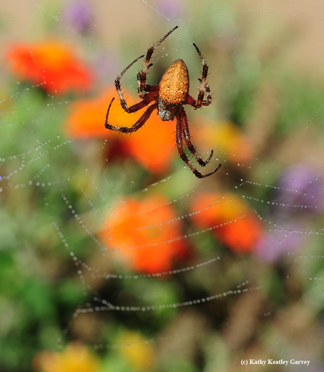 A redfemured spotted orbweaver, Neoscona domiciliorum, dangles from its web. In the background are Mexican sunflowers, Tithonia. (Photo by Kathy Keatley Garvey)