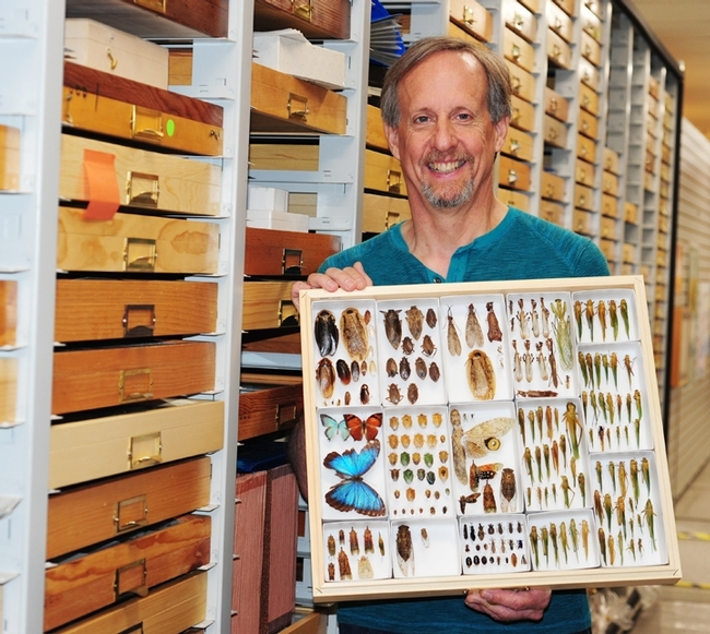 Senior museum scientist Steve Heydon of the Bohart Museum of Entomology holds some of the specimens collected in Belize. He participated in the collection expedition.(Photo by Kathy Keatley Garvey)