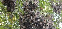 Roosting or overwintering monarchs in the Berkeley Aquatic Park on Nov. 30,2015. No tagged monarchs are visible. (Photo by Kathy Keatley Garvey) for Bug Squad Blog