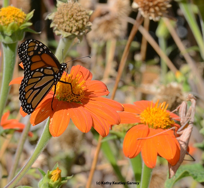 An unsuspecting monarch lands next to a Mexican sunflower occupied by a predator, a praying mantis. (Photo by Kathy Keatley Garvey) for Bug Squad Blog