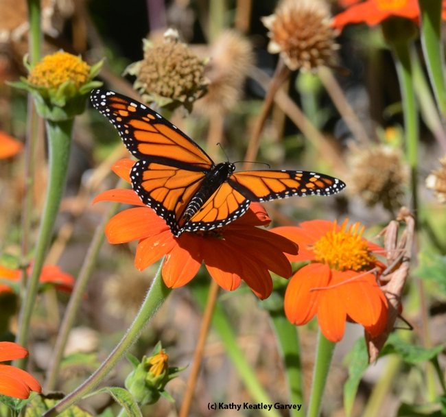 The monarch spots the praying mantis and in a winged frenzy, begins his escape. (Photo by Kathy Keatley Garvey)