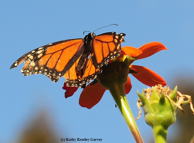 A tattered monarch makes a refueling stop on a Tithonia in Vacaville, Calif. (Photo by Kathy Keatley Garvey)